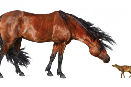 Modern Morgan horse and Sifrhippus, earliest known horse