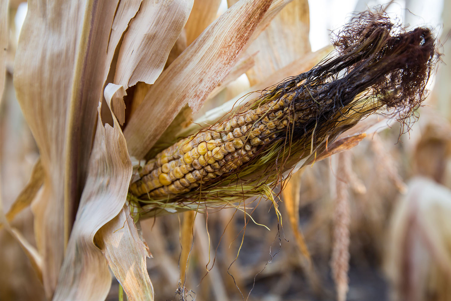 Drought-shriveled corn