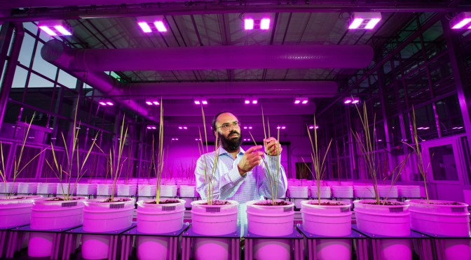 UNL agronomist Harkamal Walia conducts research using the LemnaTec Scanalyzer high-throughput phenotyping system.