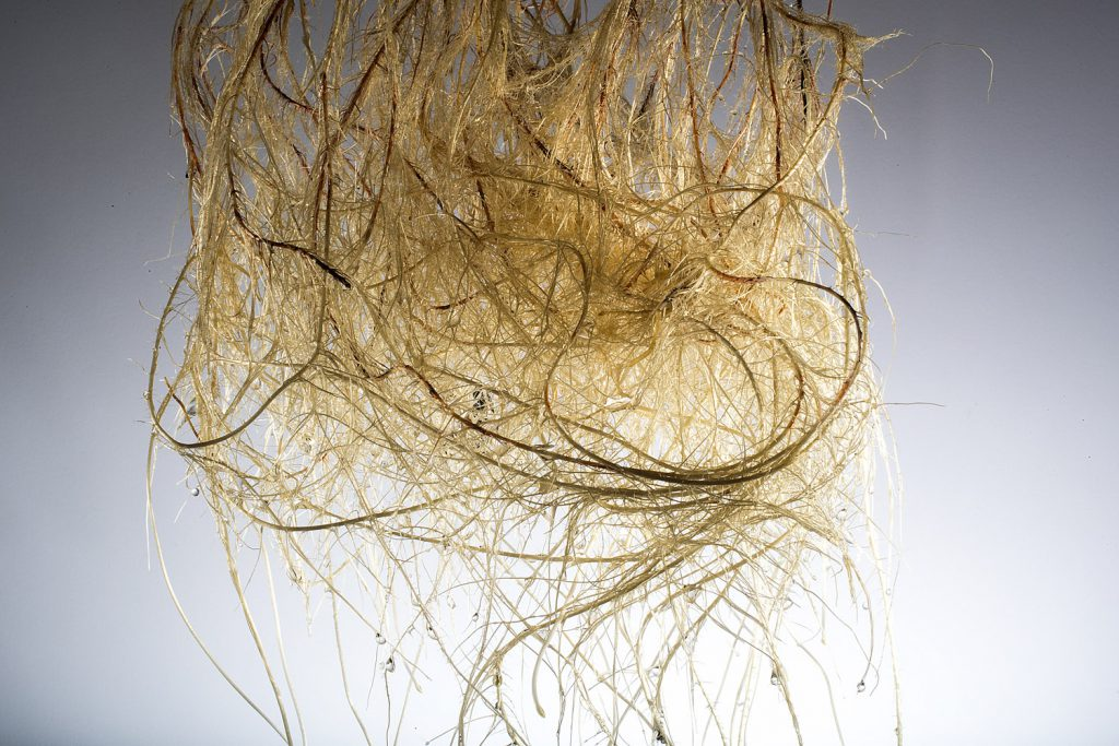 Hydroponic sorghum roots. photographed for the Center for Root and Rhizome Innovation sponsored by an EPSCoR grant. June 20, 2016. Photo by Craig Chandler / University Communications
