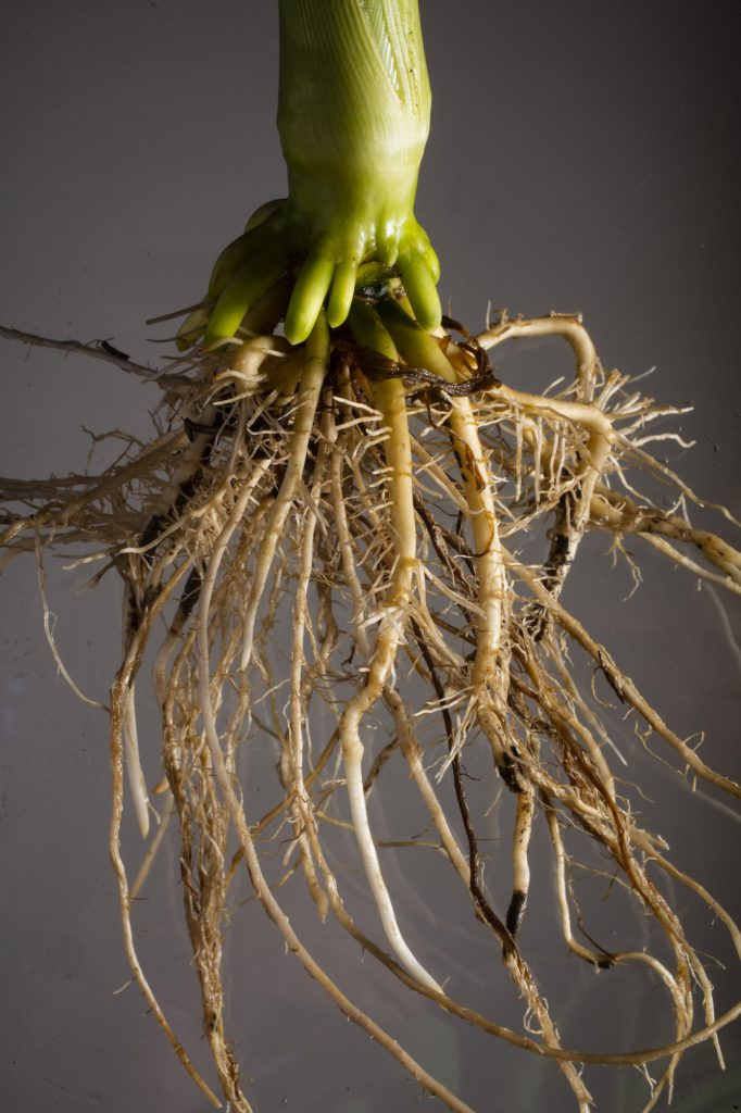 Young Corn roots. Ed Cahoon and Jim Alfano lead the Center for Root and Rhizome Innovation sponsored by an EPSCoR grant. June 20, 2016. Photo by Craig Chandler / University Communications